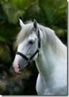 Lusitaans paard